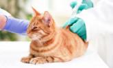 Грижа за котки с диабет